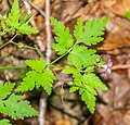 Geranium robertianum in Aveyron (1).jpg