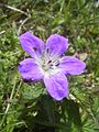 Geranium sylvaticum Rax.jpg