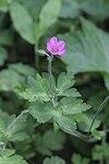 Geranium thunbergii