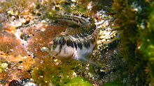 Germain's Blenny-Omobranchus germaini.jpg