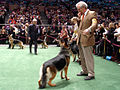 German Shepherds WKC dogshow.jpg
