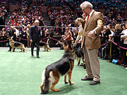 German Shepherd Dogs at the Westminster Kennel Club dog show