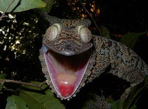 Uroplatus fimbriatus - Image: Giant Leaf tailed Gecko, Nosy Mangabe, Madagascar