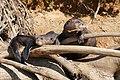 Giant Otters (Pteronura brasiliensis) resting in the sun ... - Flickr - berniedup.jpg