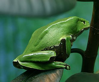 Water resources management in Brazil - Deforestation in the Amazon Rainforest threatens many species of tree frogs, which are very sensitive to environmental changes (pictured: giant leaf frog)
