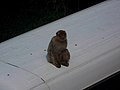Gibraltar Barbary Macaque on a bus 2.jpg