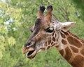 Giraffa camelopardalis (6338345216).jpg