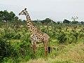 Giraffe (5896333233).jpg