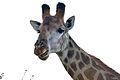 Giraffe (Giraffa camelopardalis) (16277358099).jpg