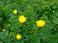 Globeflower.jpg