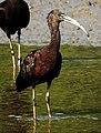 Glossy Ibis Plegadis falcinellus by Dr. Raju Kasambe DSCN0962 (5).jpg