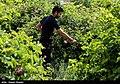 Golab being make in Meymand - Fars 16.jpg