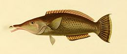 Gomphosus
