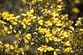 Gorse blossom, 20100403 (4575105306).jpg
