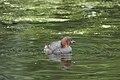 Grèbe castagneux au Bushy Park 02.jpg