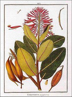 Grabado de Embothrium en Florae peruvianae 1.jpg