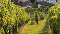 Grape vines 2015 03.jpg