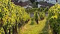 Grape vines 2015 03.jpg