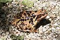 Grasfrosch Rana temporaria fem Gebirgspopulation 2.jpg