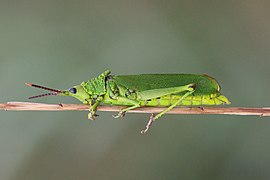 Grasshopper (Taphronota calliparea) female.jpg