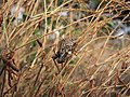 Grasshoppers-mating-thrace-greece-0a.jpg
