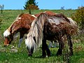 Grayson Highlands Ponies-27527-3.jpg