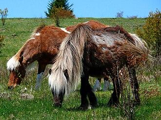 Grayson Highlands State Park - Wild ponies on Wilburn Ridge.