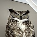 Great-horned Owl (male) (18538078926).jpg