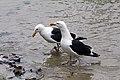 Great Black-backed Gull (8151620808).jpg