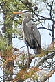 Great Blue Heron (3824673746).jpg