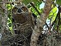 Great Horned Owl- Immature, NPSPhoto, Chris Reiss (5622601474).jpg