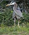 Great blue heron (61234).jpg