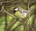 Great tit (33896249951).jpg