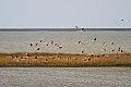 Greater Flamingo (Phoenicopterus roseus) (8079427467).jpg