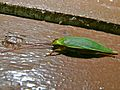 Green Cricket (Grylloidea) (8406327930).jpg