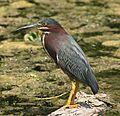 Green Heron (20396370).jpg