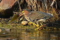 Green Heron with catch (7861143230).jpg