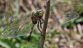 Green Marsh Hawk (Orthetrum sabina) W IMG 3457.jpg