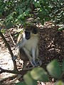 Green Monkey in Barbados 05.jpg