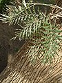 Grevillea robusta leaves and trunk 01.jpg