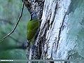 Grey-headed Woodpecker (Picus canus) (45664830345).jpg