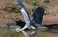 Grey Heron, Ardea cinerea, at Pilanesberg National Park, Northwest Province, South Africa (28285301070).jpg