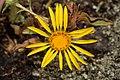 Grindelia integrifolia 2758.JPG