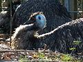 Großer Emu Lorsch.JPG