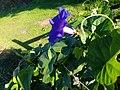 Gros plan sur une fleur bleue en Corse (profil).jpg