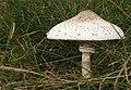 Grote parasolzwam (3926317253).jpg