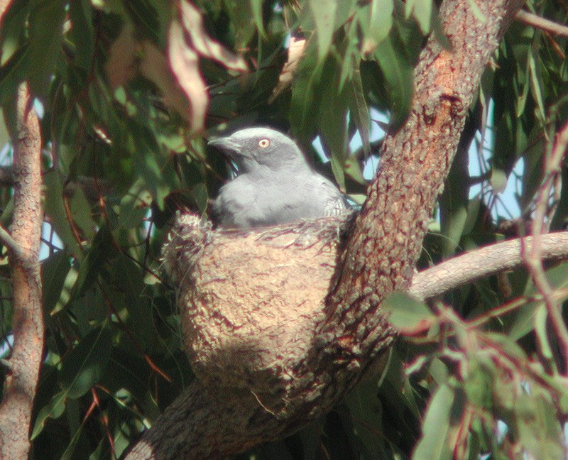 Ground Cuckoo-shrike nest atkinsons dec03