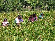 Gulbakawali Farming