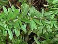 Gymnosporia polyacantha subsp vaccinifolia, loof, Roodeplaat NR.jpg