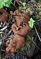 Gyromitra parma schildförmige lorchel.jpg